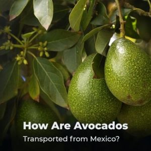 How Are Avocados Transported from Mexico